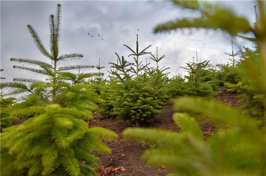 Weihnachtsbaum Schwerte.21 Fakten Rund Um Den Weihnachtsbaum Waldbauern Aus Schwerte Erklären