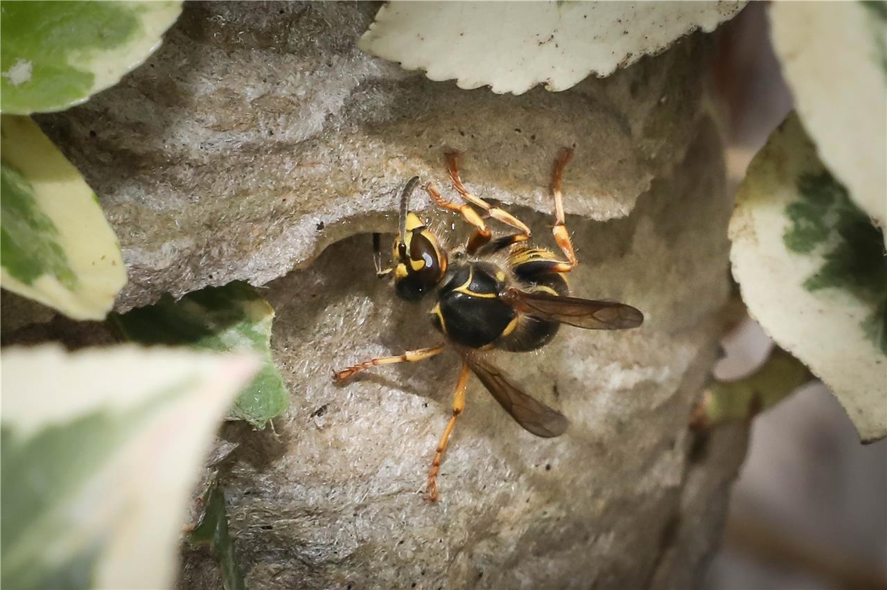 Häufig Wespen werden in diesem Sommer zur echten Plage für Menschen und MW78