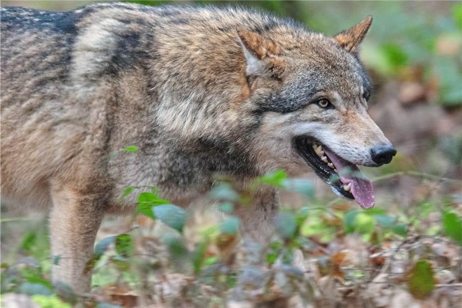 AG Wolf fürchtet Eskalation durch einen weiteren Wurf...